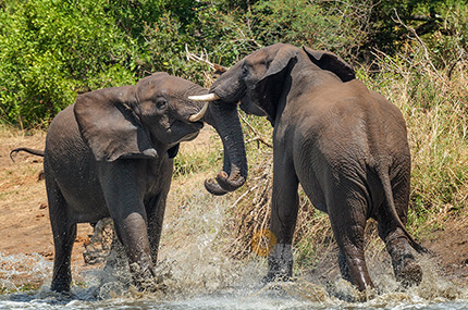 Battling Bull Elephants on a side of a river - Herbivores photo gallery