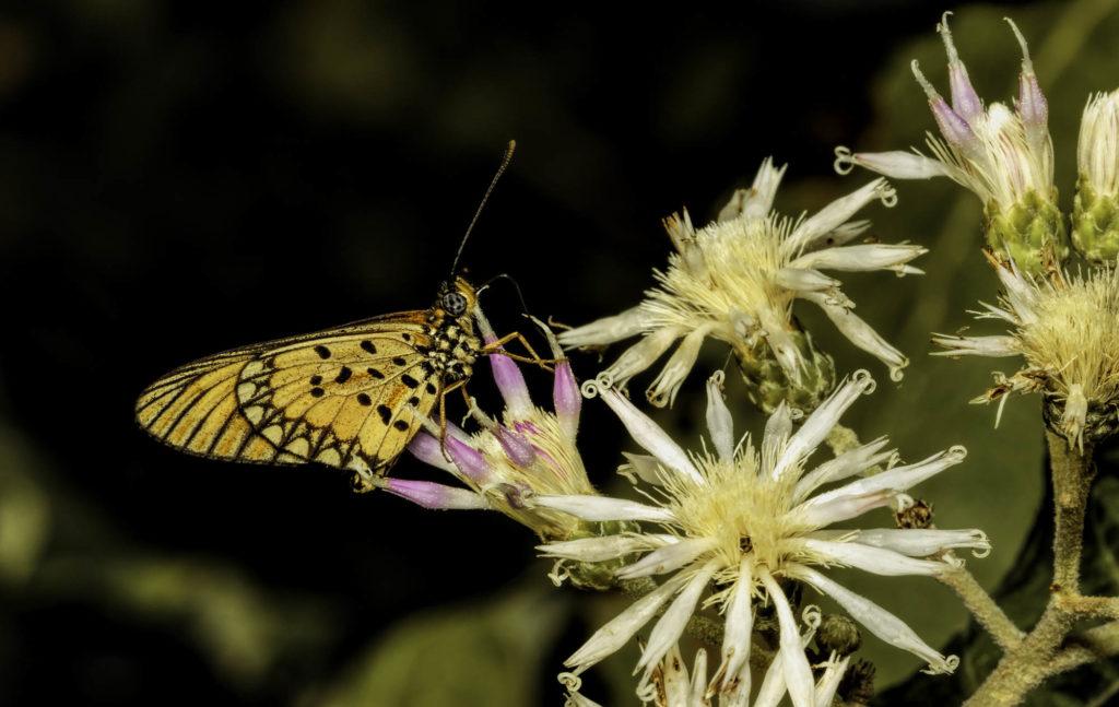 Black-tipped Acraea butterfly feeding on flowers