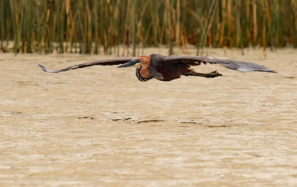 Wildlife Photography Portfolio -Goliath-Heron flying low over the water