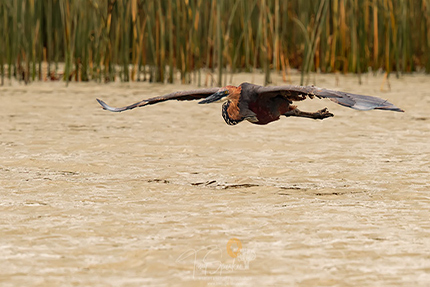 Goliath Heron in flight low over water