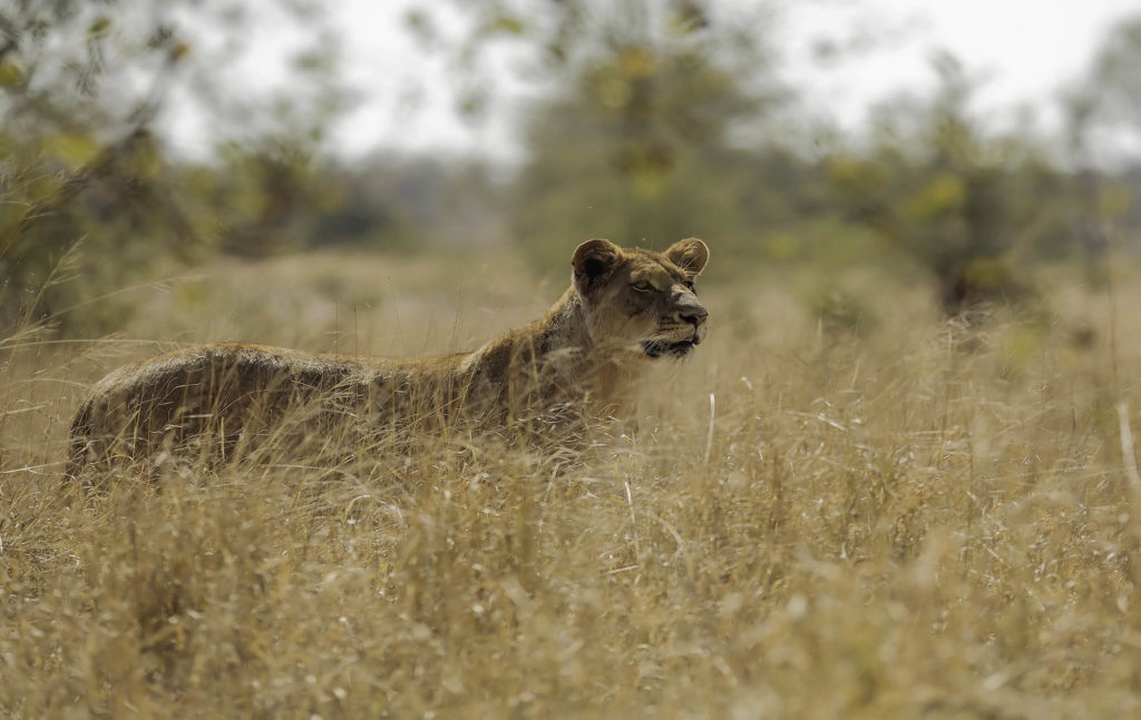 Portfolio - Predators photographs - Lioness stood up looking at the camera in long partially hidden in long yellow grass - Kruger National Park - South Africa