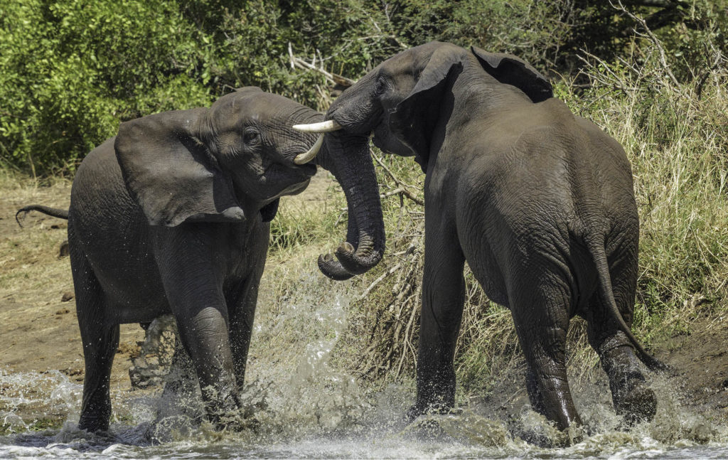 Two African elephants fighting beside the water