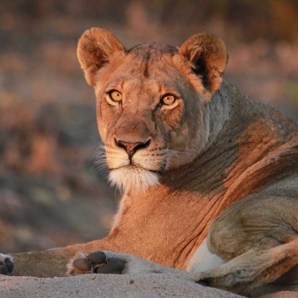 Tony Sparkes Wildlife & Photo Safaris - Hamiltons-Tented-Camp-Lioness portrait