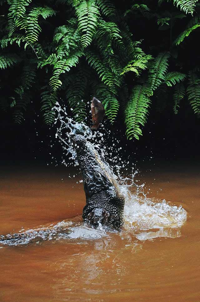 Caimen - Pantanal Brazil
