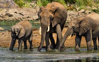 Safari Animals - Big Five - Three African Elephants Drinking