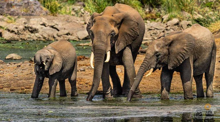 Safari Animals - Big Five - Three African Elephants Drinking