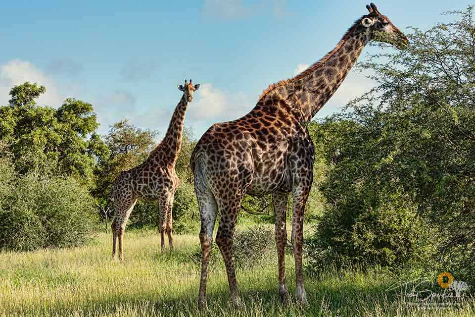 African Safari Animals - Giraffes eating from a bush