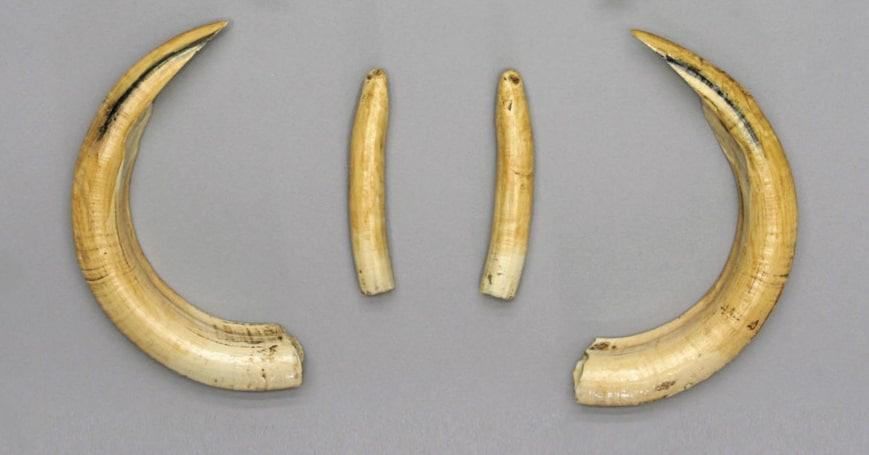 Hippopotamus Teeth (Tusks)