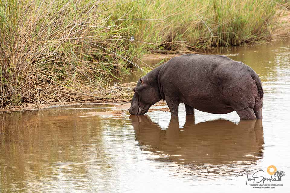 African Safari Animals - Hippopotamus standing out of the water