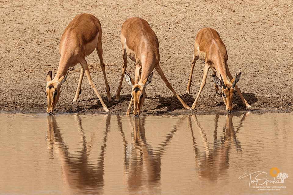 African Safari Animals - 3 Impala drinking