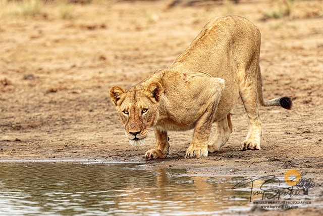 Guided Safari in the Kruger Park - Lioness about to drink at a water hole.