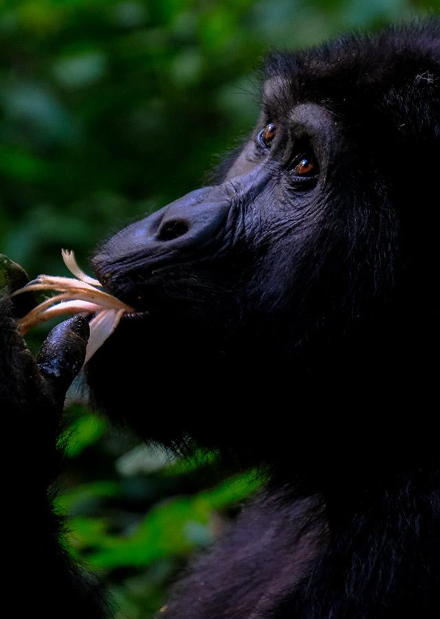 Uganda Gorilla Trekking - Mountain Gorilla