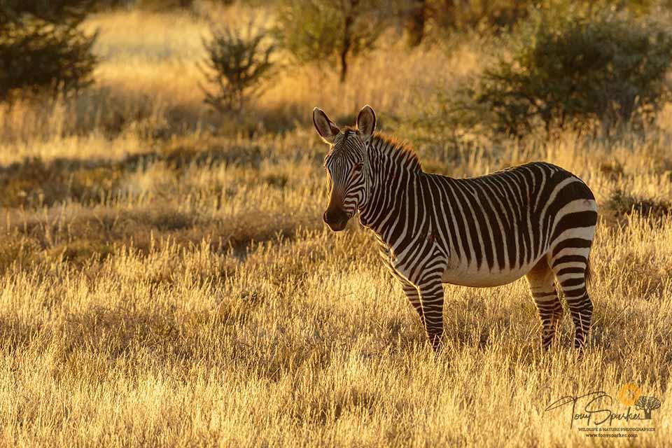 African Safari Animals - Mountain Zebra stood in yellow grass in afternoon sun