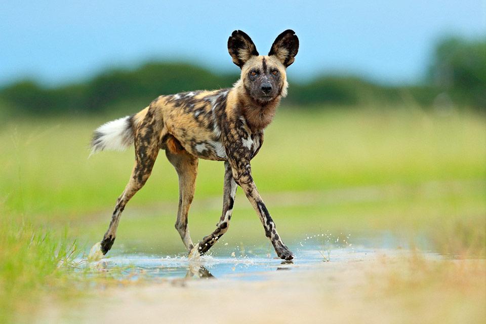 African Safari Animals - Single Wild Dog