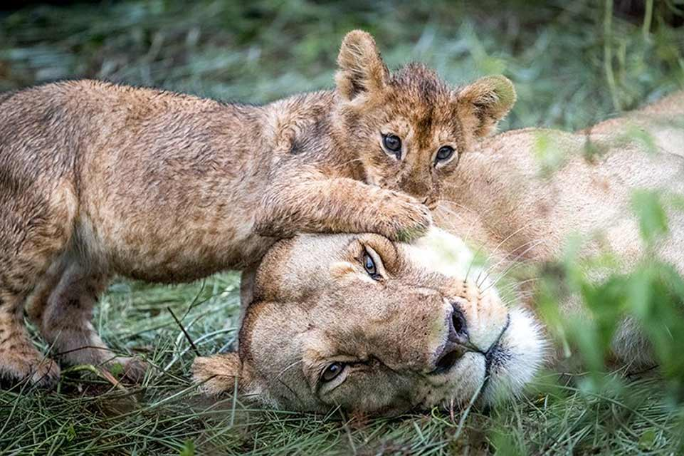 Lioness & Cub playing