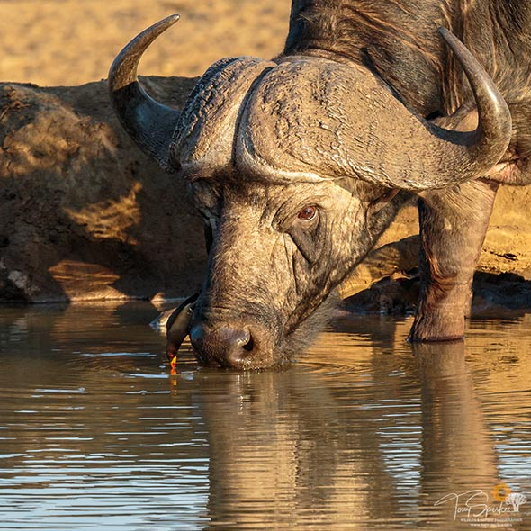 Kruger Park safaris - Cape Buffalo Drinking