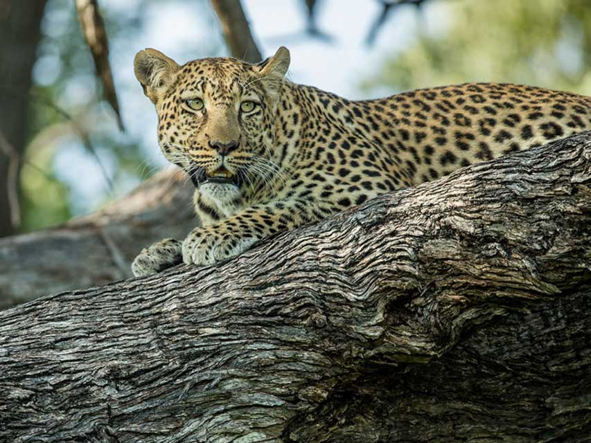 Botswana photo safari - Leopard in a tree