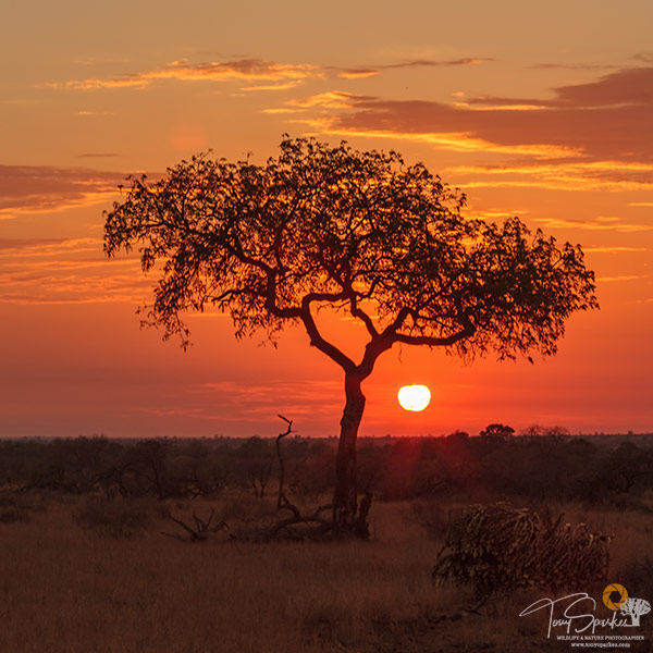 Sunrise Behind a Tree Kruger National Park- Kruger Park Safaris
