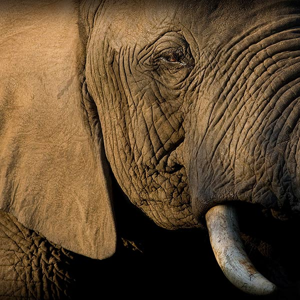 African Elephant Eye and face - Wildlife Tours