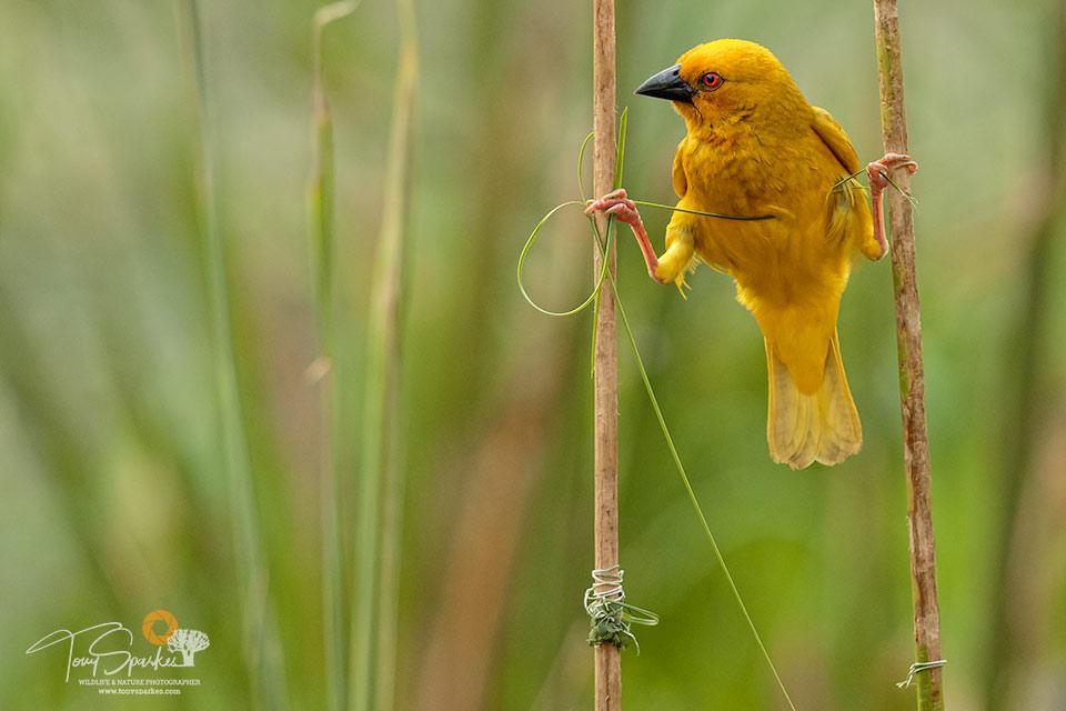 Bonamanzi Game Reserve - Eastern Golden Weaver Bird