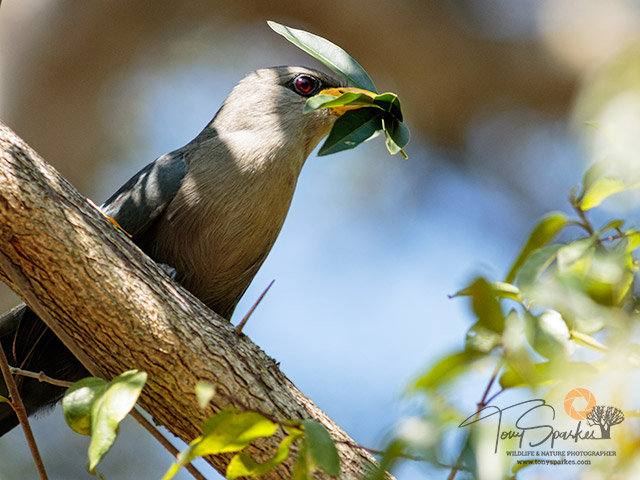 Green Malkoa perched in a tree with nesting material in its beak