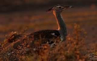 Low light wildlife photography - Kori Bustard