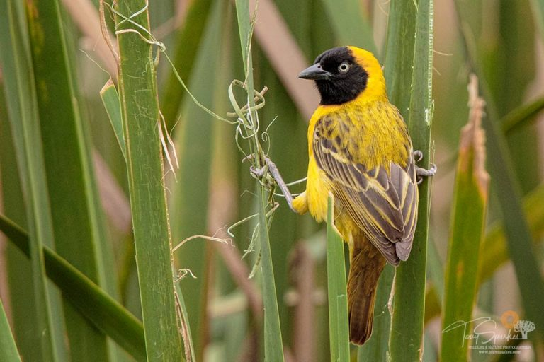 Low Light Wildlife Photography - Lesser Masked Weaver perced on grass building a nest