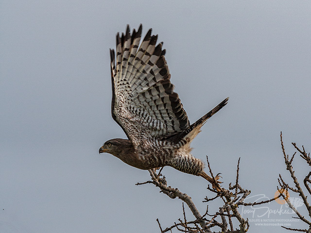 Southern Banded Snake Eagle - Taking off from a tree