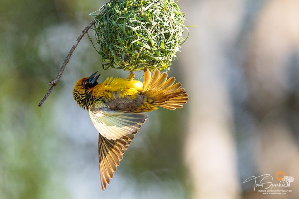 Bonamanzi Game Reserve - Village Weaver Bird