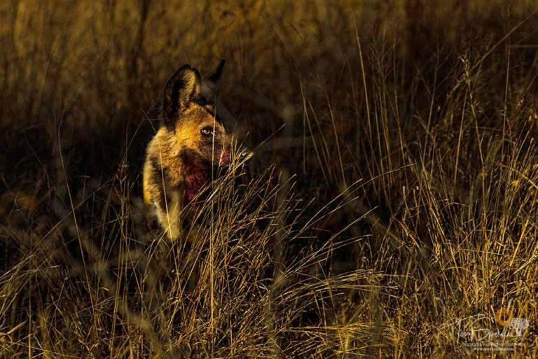 African Wild Dog - Low Light Wildlife Photography