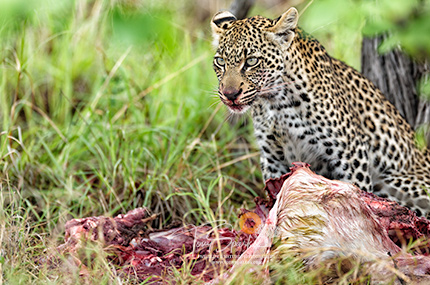 African Leopard on a Kill - Predator