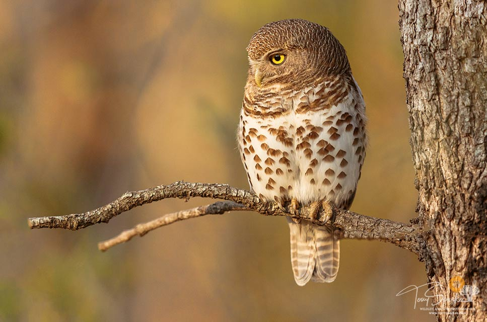 Wildlife photo tips -Barred Owlet perched on a single branch