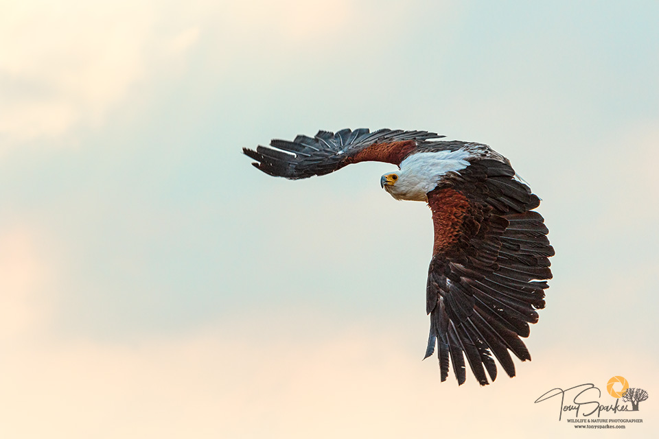 Bird in Flight - African Fish Eagle