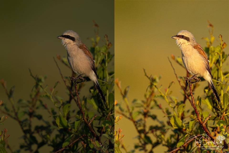 Wildlife photo tips -Red Back shrikes