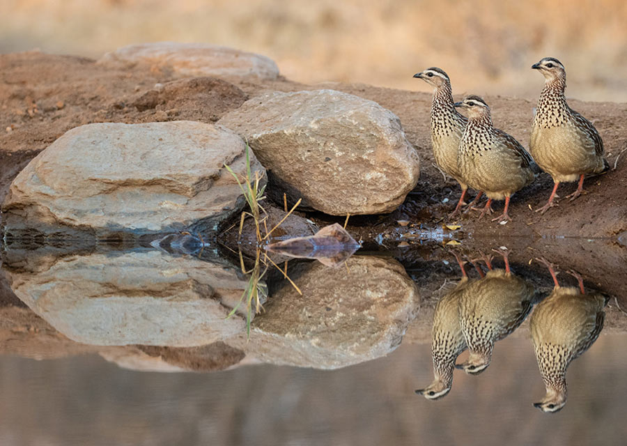 3 Crested Francolin by a waterhole - Antares Bush camp