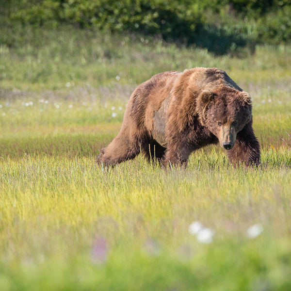 Bears of Katmai - Alaska Tours