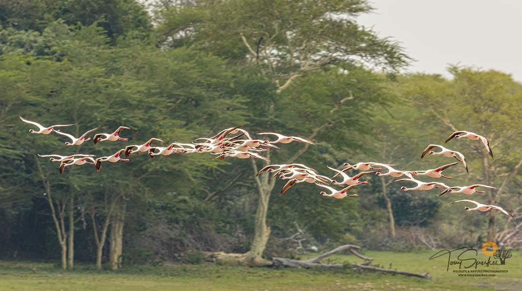 Flock of Lesser Flamingos in Flight