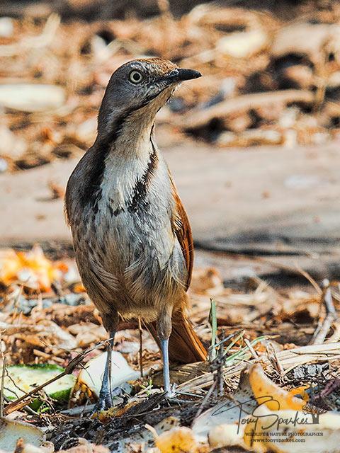 Bird -Migration Patterns Collared-Palm-Thrush
