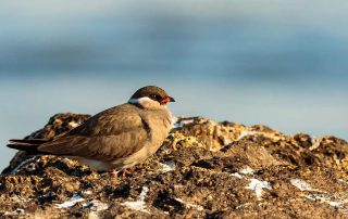 Rock Pratincole - Intra African Migrant